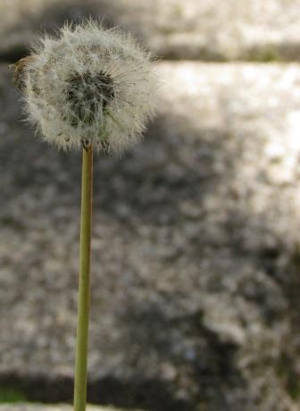 Dandelion ou Dente-de-leão.